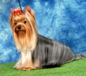 Yorkshire Terrier MINI SHOP EUROVISION