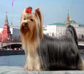 Yorkshire Terrier MINI SHOP FAMME FATALE