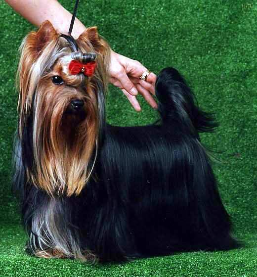 AKC Yorkshire Terriers (Dollface Yorkies) Champion