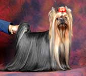 Yorkshire Terrier MINI SHOP SHERRY SHERRY LADY