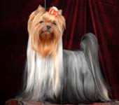 Yorkshire Terrier MINI SHOP LOVE ME TENDER