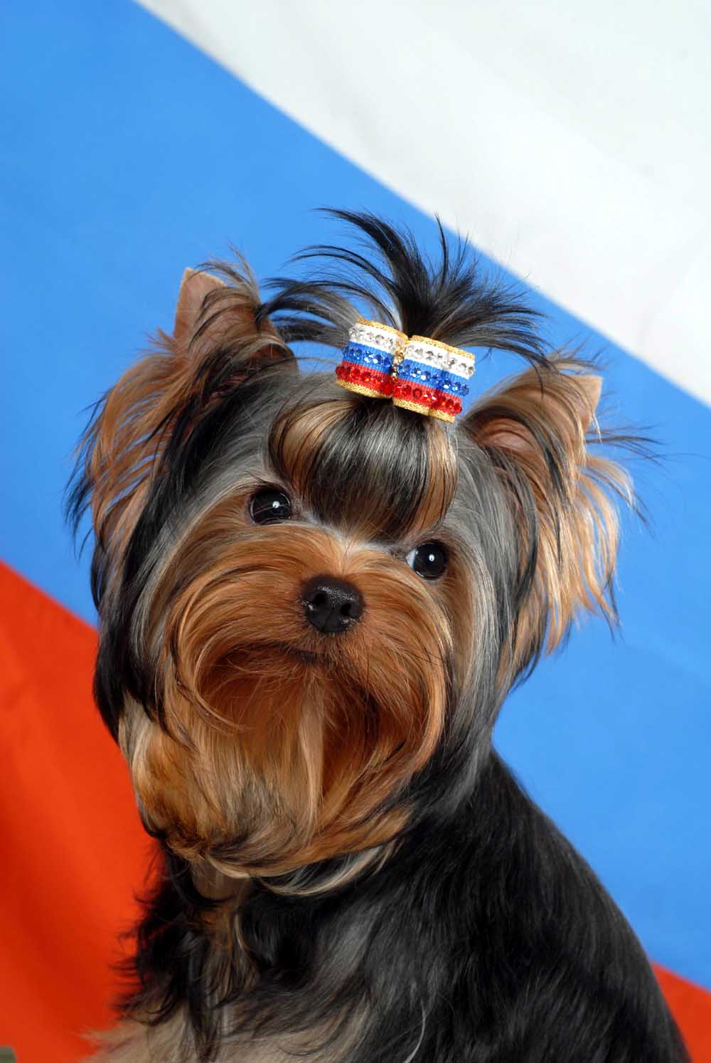 Yorkshire Terrier Puppies for Sale - Doggies
