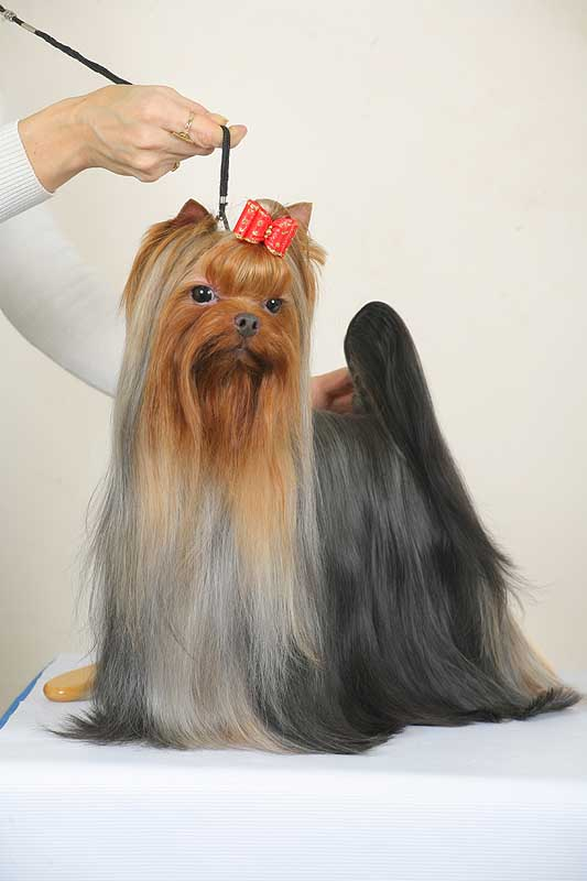 Yorkshire Terrier Breeders - Yorkie show and puppy news
