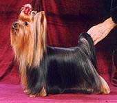 Yorkshire terrier MINI SHOP I LOVE JAZZ